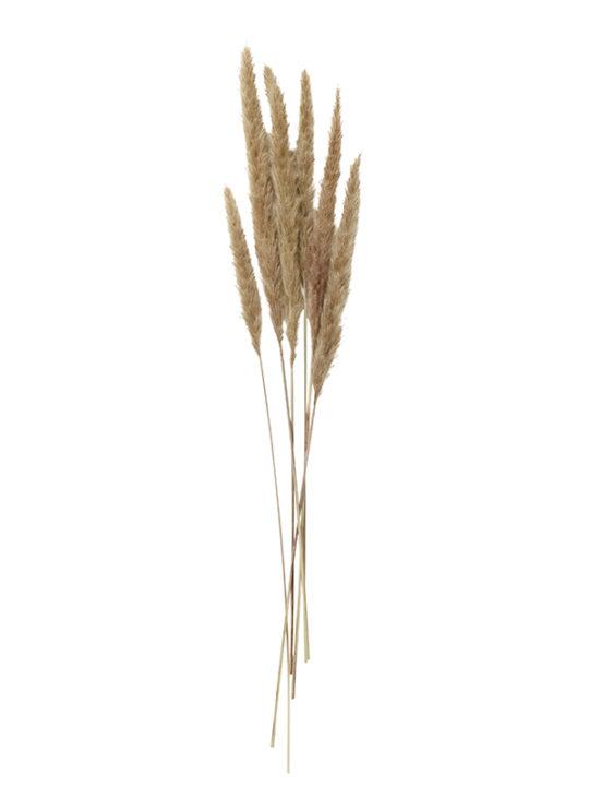 Nordal, Pampas-græs, Natur, 70 cm. - 6 stk.